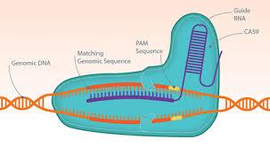 Genome Editing Understanding The Nuances Of Genome Editing Gen Genetic