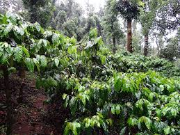 shade grown coffee plantation. Modren Grown Shade Grown Coffee Plantation Inside Shade Grown Coffee Plantation I