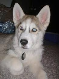 a grey and white wolf hybrid puppy with blue eyes is laying on a carpet and