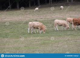 Light Livestock Cows Light Brown In Pasture Summers End Stock Photo Image