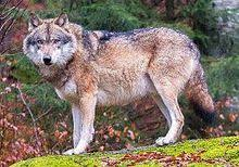 european wolf in bavarian forest national park germany