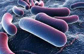 Полезные бактерии Роль и значение бактерий в жизни человека Фото кишечная палочка
