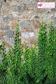Emerald Green European Ivy Hedera Helix An Invasive Climbing Wall Climbing Plants