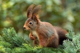 get rid of squirrels with homemade squirrel repellent