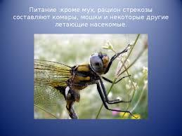 РЕФЕРАТ На тему Стрекозы начальные классы прочее Питание кроме мух рацион стрекозы составляют комары мошки и некоторые другие летающие насекомые