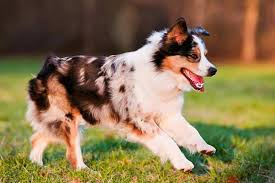 Miniature American Shepherd Dog Breed Information
