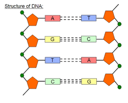 Answer Dna Structure A Sample Of Human Dna Is Subjected To