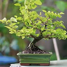 office bonsai tree. Perfect Bonsai Indoor Bonsai Tree In Ceramic Pot House Plant Easy To Grow Variety Zelkova  For Home And Office B