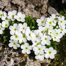 ANDROSACE MATHILDAE SEEDS - Plant World Seeds