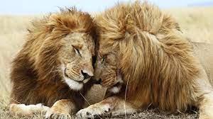 lion, cat, couple, mane, rest 1920x1080 ...