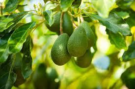 Fruit Salad Trees Usa
