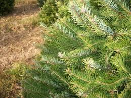 Christmas Tree Farms For Hudson Valley Families  Kids Out And Valley Christmas Tree Farm