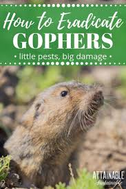 pulling your hair out over these underground garden pests gophers can pull an entire plant