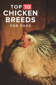 Different Types Of Chickens Chart 10 Best Egg Laying Chicken Breeds Up To 300 Per Year