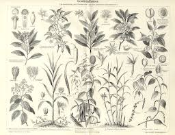 botanical art prints of the plants I learned as a child on our farm -  perhaps