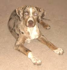 Catahoula Growth Chart Red Catahoula Puppies For Sale Goldenacresdogs Com
