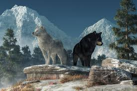 white wolf and black wolf howling. In White Wolf And Black Howling