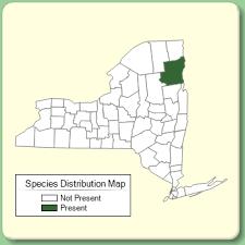 Orobanche minor - Species Page - NYFA: New York Flora Atlas