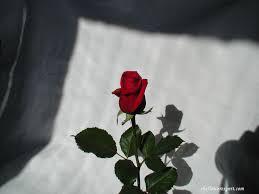 Simple Rose Wallpapers - Top Free ...