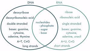Dna Rna Venn Diagram Compare And Contrast Dna Rna Venn Diagram Periodic Diagrams Science