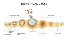 Female Menstrual Cycle Flow Chart Periods Or The Menstrual Cycle In Women