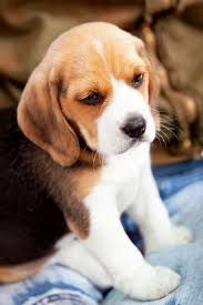cute beagle puppies. Interesting Puppies 8 Cute Beagle Puppies Pictures And Photos  All  To L