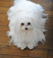 silky dog white. originating in the mediterranean area, these little dogs, with long, silky white hair dog