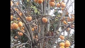 Oklahoma Wild FruitLotus Fruit Tree