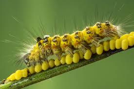 Yellow Caterpillar Identification Chart A Beginners Guide To Caterpillar Identification
