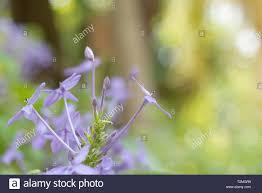 Purple Flowers Backgrounds Violet Ixora Or Pseuderanthemum Andersonii Lindau Background