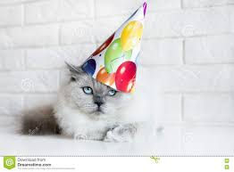 grumpy cat birthday hat. Interesting Hat Download Grumpy Cat Posing In A Birthday Hat Stock Image  Of Lying  Breed And