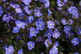 creeping perennial to 12 tall that bears tiny round deep blue flowers with white centers in late spring and summer great in containers