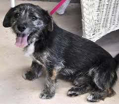 black cairn terrier mix. Delighful Cairn Cairn Terrier Chihuahua Mix Black Intended E