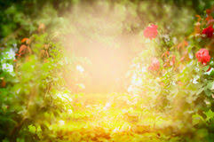 blurred outdoor backgrounds. Fine Outdoor Sunny Roses Garden Blurred Nature Background Royalty Free Stock Photography With Blurred Outdoor Backgrounds A