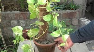 how to grow money plant in water bottle indoor money plant care october 2016 urdu hindi