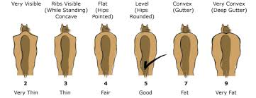 Horse Body Condition Chart Hubbard Feeds