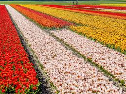 photo visitors to the keukenhof view the colorful flower fields and bulb blossoms in