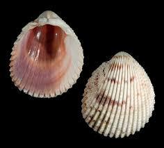 Pin by Hilary Harvey on Seashells in 2020   Shells, Sea shells, Shell crafts