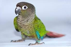 Green Cheeked Conure Bird Species Profile
