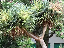 La dracaena draco: una pianta elegante millenaria giardinaggio