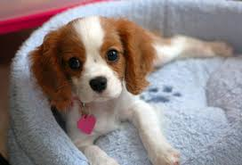 home dog breeds cavalier king charles spaniel
