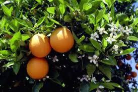 When Does An Orange Tree Bear Fruit  Home Guides  SF GateTree Bearing Fruit