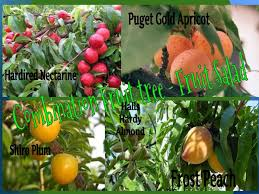 dwarf fruit cocktail trees. Plain Cocktail Fruit Salad Tree Presale Peaches Apricots Nectarines Plums And Almonds  All On One Tree Oh My Throughout Dwarf Cocktail Trees