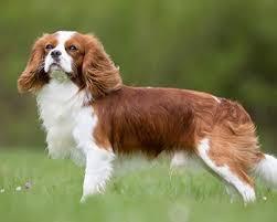 Cavalier Weight Chart Cavalier King Charles Spaniel Dog Breeds Purina Australia