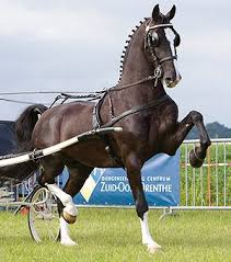 Dutch Harness Horse Breed Information, History, Videos, Pictures