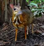 Images & Illustrations of chevrotain