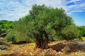 Olive History  California Ripe Olives  California Ripe OlivesWild Olive Tree Fruit