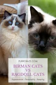 The Difference Between Birman Cats And Ragdoll Cats Purr Craze