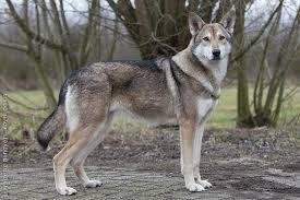 que mange un chien loup tchque