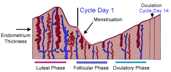From Ovulation To Early Pregnancy A Week By Week Cycle